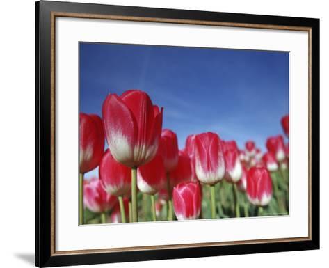 Tulipa Species, Alkmaar, Holland (Netherlands)-Thorsten Milse-Framed Art Print