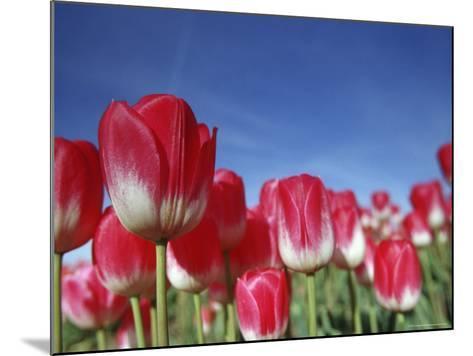 Tulipa Species, Alkmaar, Holland (Netherlands)-Thorsten Milse-Mounted Photographic Print