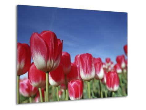 Tulipa Species, Alkmaar, Holland (Netherlands)-Thorsten Milse-Metal Print