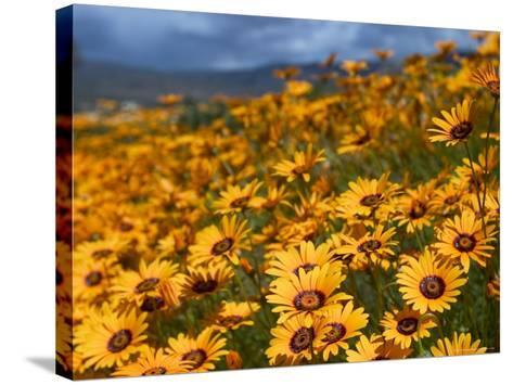 Daisy (Dimorphotheca Sinuata), Clanwilliam, South Africa, Africa-Thorsten Milse-Stretched Canvas Print