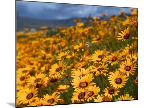 Daisy (Dimorphotheca Sinuata), Clanwilliam, South Africa, Africa-Thorsten Milse-Mounted Photographic Print
