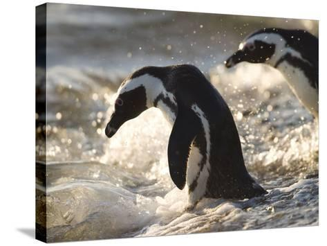 Jackass Penguin (African Penguin) (Spheniscus Demersus), Cape Town, South Africa, Africa-Thorsten Milse-Stretched Canvas Print