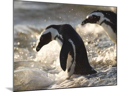 Jackass Penguin (African Penguin) (Spheniscus Demersus), Cape Town, South Africa, Africa-Thorsten Milse-Mounted Photographic Print