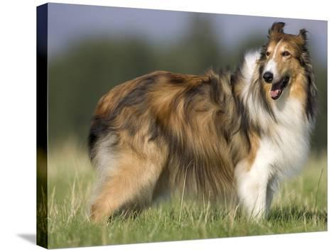 Dog, Collie, Germany-Thorsten Milse-Stretched Canvas Print