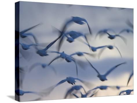 Snow Goose (Anser Caerulescens), Bosque Del Apache, Socorro, New Mexico, USA-Thorsten Milse-Stretched Canvas Print