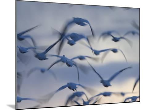 Snow Goose (Anser Caerulescens), Bosque Del Apache, Socorro, New Mexico, USA-Thorsten Milse-Mounted Photographic Print