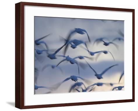 Snow Goose (Anser Caerulescens), Bosque Del Apache, Socorro, New Mexico, USA-Thorsten Milse-Framed Art Print