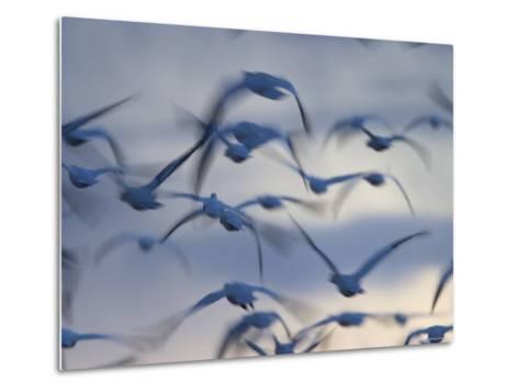 Snow Goose (Anser Caerulescens), Bosque Del Apache, Socorro, New Mexico, USA-Thorsten Milse-Metal Print