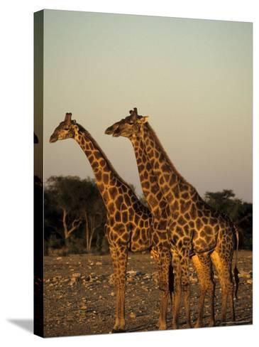 Giraffe, Giraffa Camelopardalis, Etosha National Park, Namibia, Africa-Thorsten Milse-Stretched Canvas Print