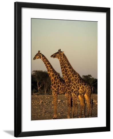 Giraffe, Giraffa Camelopardalis, Etosha National Park, Namibia, Africa-Thorsten Milse-Framed Art Print