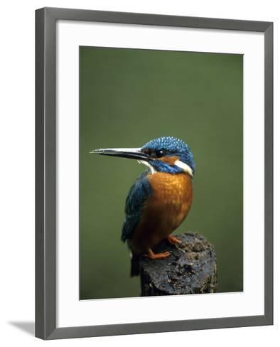 Kingfisher, (Alcedo Atthis), Nrw, Bielefeld, Germany-Thorsten Milse-Framed Art Print
