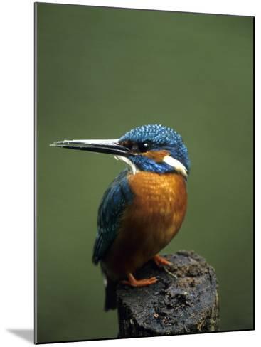 Kingfisher, (Alcedo Atthis), Nrw, Bielefeld, Germany-Thorsten Milse-Mounted Photographic Print