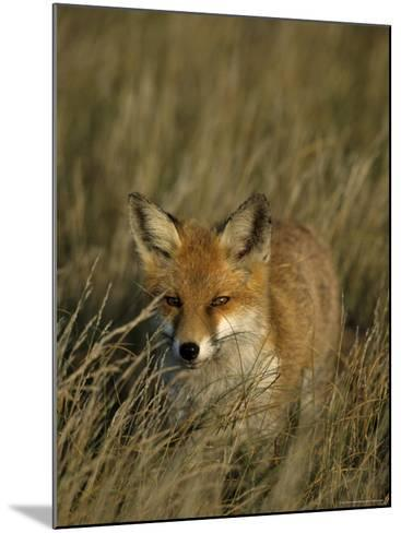 Red Fox, Vulpes Vulpes, Fischland, Mecklenburg-Vorpommern, Germany-Thorsten Milse-Mounted Photographic Print