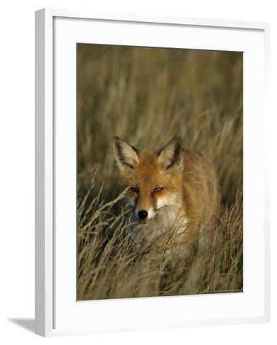 Red Fox, Vulpes Vulpes, Fischland, Mecklenburg-Vorpommern, Germany-Thorsten Milse-Framed Art Print