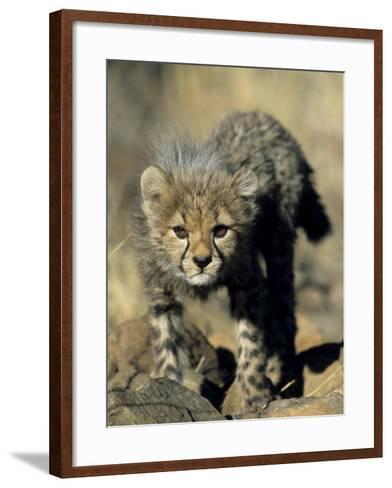 Cheetah Cub, Acinonyx Jubatus, Duesternbrook Private Game Reserve, Windhoek, Namibia, Africa-Thorsten Milse-Framed Art Print