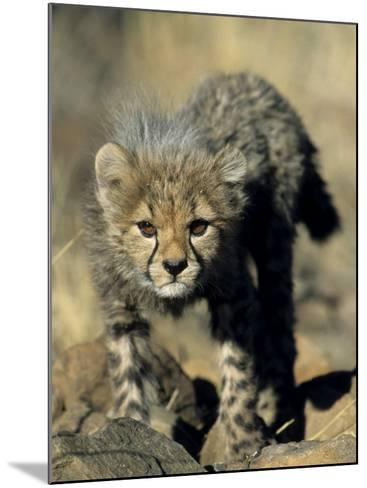 Cheetah Cub, Acinonyx Jubatus, Duesternbrook Private Game Reserve, Windhoek, Namibia, Africa-Thorsten Milse-Mounted Photographic Print