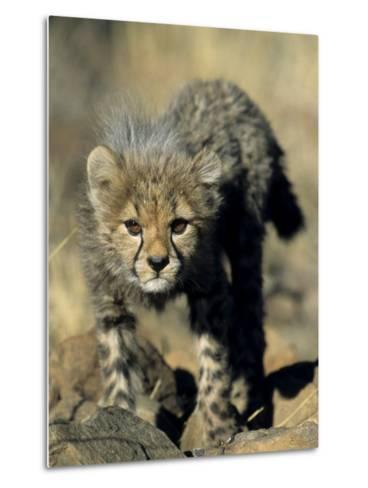 Cheetah Cub, Acinonyx Jubatus, Duesternbrook Private Game Reserve, Windhoek, Namibia, Africa-Thorsten Milse-Metal Print