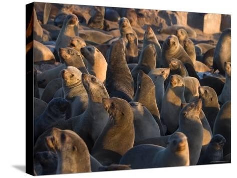 South African Fur Seals, Arcotocephalus Pusillus, Cape Cross, Namibia, Africa-Thorsten Milse-Stretched Canvas Print