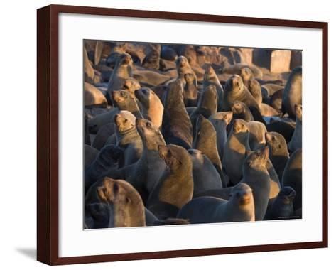 South African Fur Seals, Arcotocephalus Pusillus, Cape Cross, Namibia, Africa-Thorsten Milse-Framed Art Print