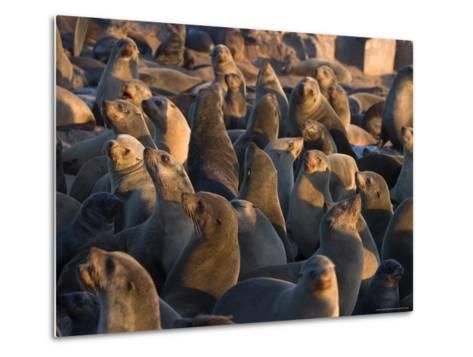 South African Fur Seals, Arcotocephalus Pusillus, Cape Cross, Namibia, Africa-Thorsten Milse-Metal Print