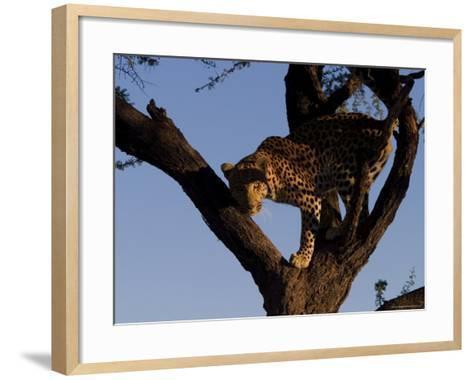 Leopard, Panthera Pardus, Duesternbrook Private Game Reserve, Windhoek, Namibia, Africa-Thorsten Milse-Framed Art Print