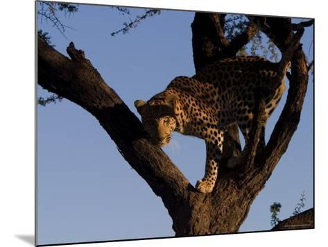 Leopard, Panthera Pardus, Duesternbrook Private Game Reserve, Windhoek, Namibia, Africa-Thorsten Milse-Mounted Photographic Print