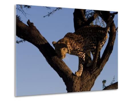 Leopard, Panthera Pardus, Duesternbrook Private Game Reserve, Windhoek, Namibia, Africa-Thorsten Milse-Metal Print