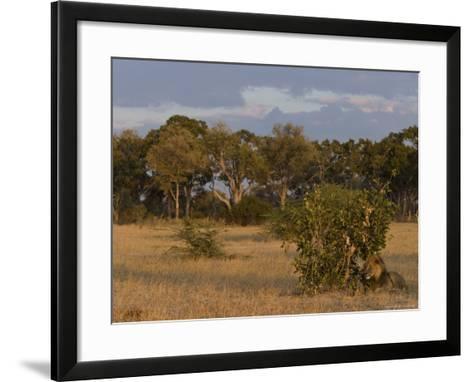 Lion, Panthera Leo, Chobe National Park, Savuti, Botswana, Africa-Thorsten Milse-Framed Art Print