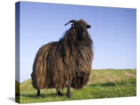 Domestic Sheep, Heligoland, Germany-Thorsten Milse-Stretched Canvas Print