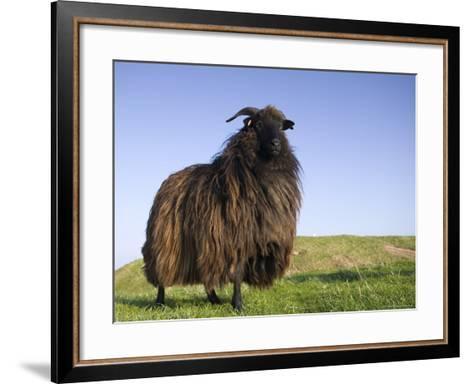 Domestic Sheep, Heligoland, Germany-Thorsten Milse-Framed Art Print