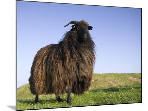 Domestic Sheep, Heligoland, Germany-Thorsten Milse-Mounted Photographic Print