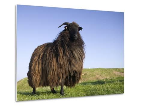 Domestic Sheep, Heligoland, Germany-Thorsten Milse-Metal Print