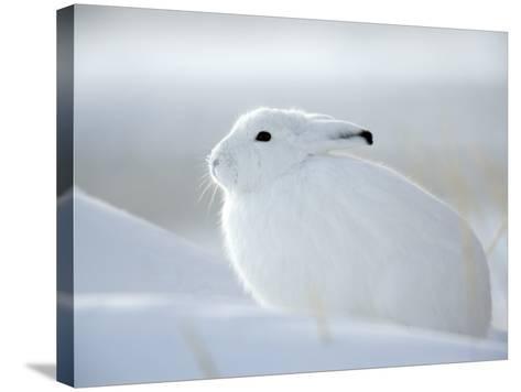 Snow Hare (Lepus Americanus), Churchill, Manitoba, Canada-Thorsten Milse-Stretched Canvas Print
