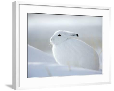 Snow Hare (Lepus Americanus), Churchill, Manitoba, Canada-Thorsten Milse-Framed Art Print