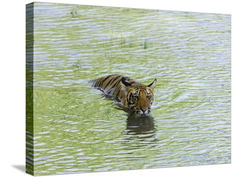 Indian Tiger, Bandhavgarh National Park, Madhya Pradesh State, India-Thorsten Milse-Stretched Canvas Print