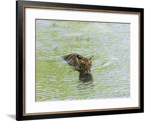 Indian Tiger, Bandhavgarh National Park, Madhya Pradesh State, India-Thorsten Milse-Framed Art Print