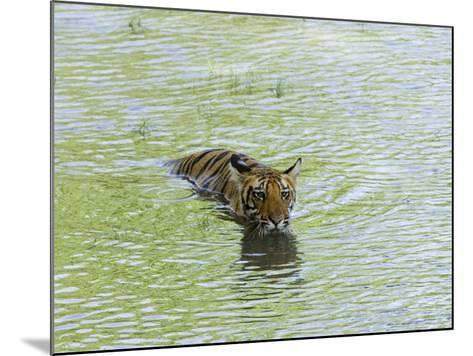 Indian Tiger, Bandhavgarh National Park, Madhya Pradesh State, India-Thorsten Milse-Mounted Photographic Print