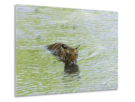 Indian Tiger, Bandhavgarh National Park, Madhya Pradesh State, India-Thorsten Milse-Metal Print