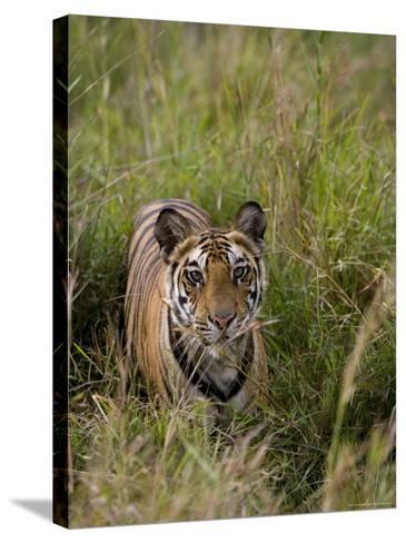 Indian Tiger, Bandhavgarh National Park, Madhya Pradesh State, India-Thorsten Milse-Stretched Canvas Print