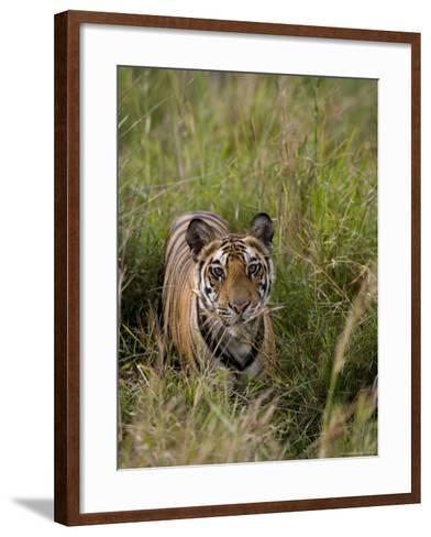 Indian Tiger, Bandhavgarh National Park, Madhya Pradesh State, India-Thorsten Milse-Framed Art Print