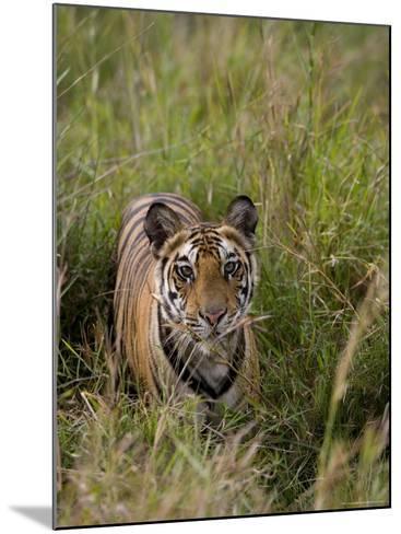 Indian Tiger, Bandhavgarh National Park, Madhya Pradesh State, India-Thorsten Milse-Mounted Photographic Print