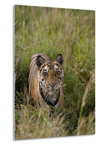 Indian Tiger, Bandhavgarh National Park, Madhya Pradesh State, India-Thorsten Milse-Metal Print
