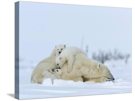Polar Bear (Ursus Maritimus) Mother with Triplets, Wapusk National Park, Churchill, Manitoba-Thorsten Milse-Stretched Canvas Print