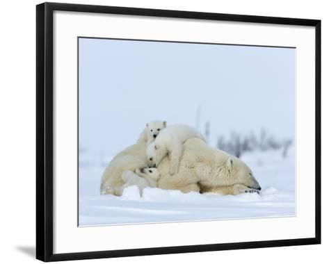 Polar Bear (Ursus Maritimus) Mother with Triplets, Wapusk National Park, Churchill, Manitoba-Thorsten Milse-Framed Art Print