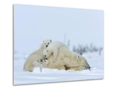 Polar Bear (Ursus Maritimus) Mother with Triplets, Wapusk National Park, Churchill, Manitoba-Thorsten Milse-Metal Print