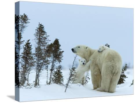 Polar Bear (Ursus Maritimus) Mother with Twin Cubs, Wapusk National Park, Churchill, Manitoba-Thorsten Milse-Stretched Canvas Print