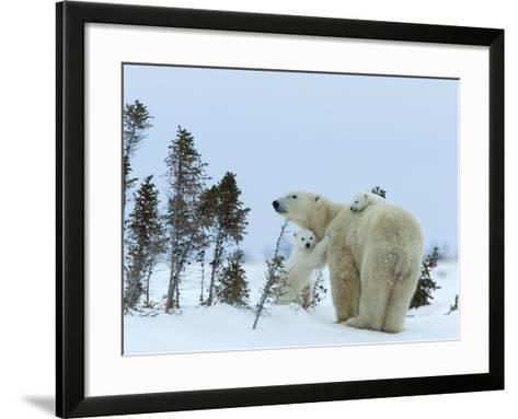 Polar Bear (Ursus Maritimus) Mother with Twin Cubs, Wapusk National Park, Churchill, Manitoba-Thorsten Milse-Framed Art Print