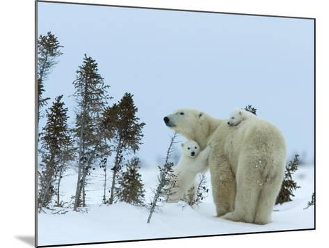 Polar Bear (Ursus Maritimus) Mother with Twin Cubs, Wapusk National Park, Churchill, Manitoba-Thorsten Milse-Mounted Photographic Print