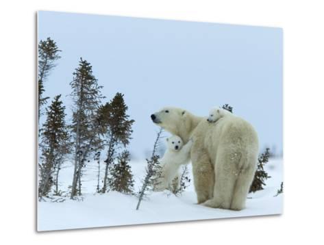 Polar Bear (Ursus Maritimus) Mother with Twin Cubs, Wapusk National Park, Churchill, Manitoba-Thorsten Milse-Metal Print
