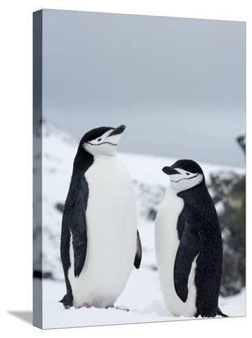 Chinstrap Penguins (Pygoscelis Antarcticus), Half Moon Island, Antarctic Peninsula, Weddell Sea-Thorsten Milse-Stretched Canvas Print